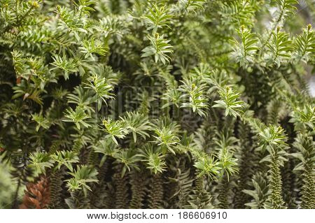 Araucaria bidwillii bunya pine large evergreen coniferous tree in the plant family Araucariaceae