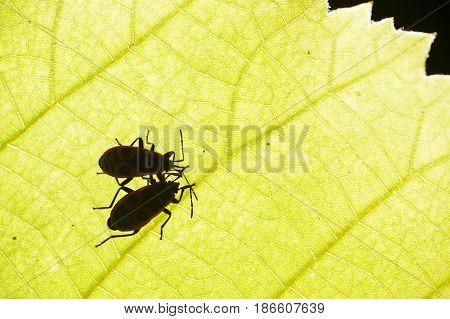 firebug Pyrrhocoris apterus common insect of the family Pyrrhocoridae under a leaf.