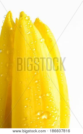 Close up yellow tulip with water droplets on white
