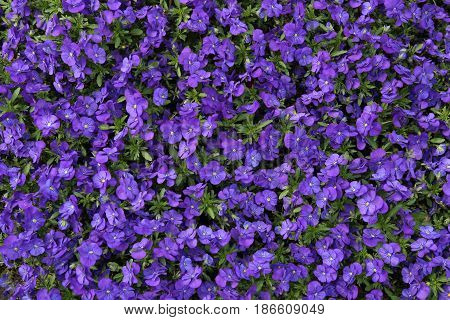 Pansy flowers background. Violet garden  flowers background top view.