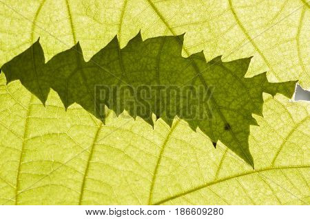 Two green leaves in sun backlight creating leaf-shaped shadow