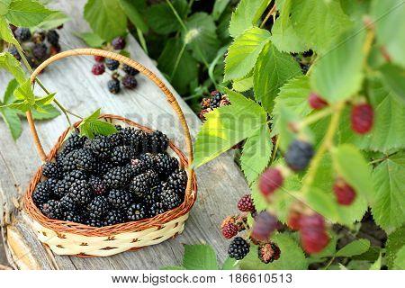 Ripe blackberries in a basket in the garden