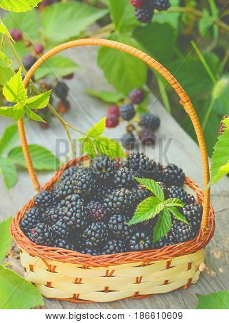 Blackberries in a basket with leaves beautiful toning