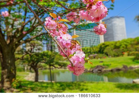 Blossoming cherry tree in Hamarikyu Gardens, Tokyo, Japan. Oriental japanese garden during Hanami. Shiodome buildings on blurred background. Spring concept, outdoor life and relax.