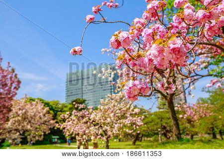 Blossoming cherry tree branch in Hamarikyu Gardens, Tokyo, Chuo district, Japan. Shiodome buildings on blurred background. Spring concept, Hanami and outdoor life.