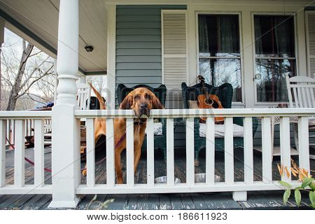 Blood hound breed loyal lazy dog waits for the owner on the typical american home porch sad and lonely