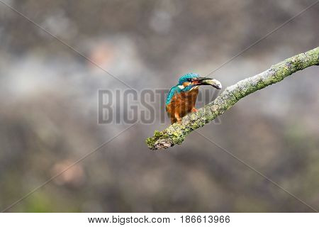 Common Kingfisher Perched On Branch With Fish In Beak.