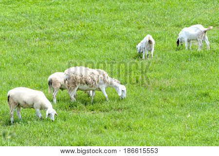 Sheep is grazed on a farm in the countryside, this animal is a beautiful fur that keeps warmth of the human body
