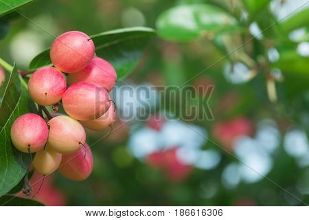 Carunda or Karonda ,Tropical Fruits from Thailand and Southeast Asia