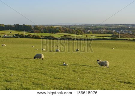 Beautiful Rural Scene With Sheeps