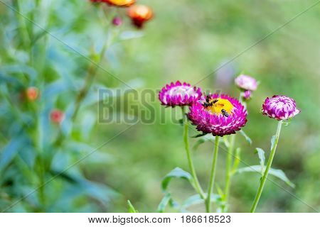 Helichrysum or Straw flower blur with green background at coutryside Thailand