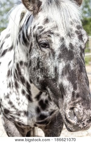 Purebred Danish breed Knabstrupper Baroque horse with an unusual range of coat coloration