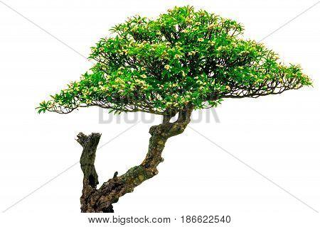 plumeria on the plumeria tree isolate on white background