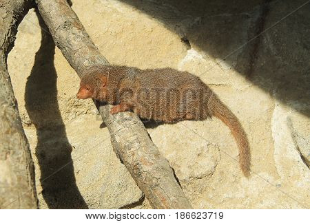 mongoose Helogale parvula climbing on the rock and branches