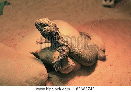 dabb lizard (Uromastyx acanthinura) living in terrarium