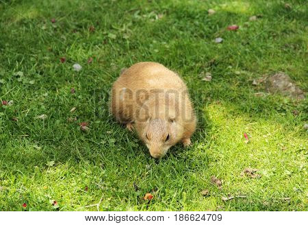 cute prairie dog pasturing on the green grass