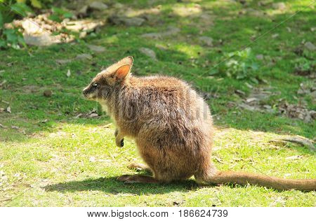 parma wallaby (Macropus parma) on the grass