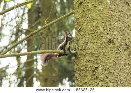 Eurasian red squirrel (Sciurus vulgaris), dark brown form on the tree