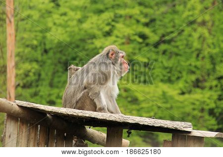 snow monkey sitting on the wooden roof of its shelter