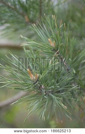Pine needles close up