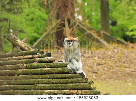 patas monkey (Erythrocebus patas) sitting on the wooden roof of its shelter