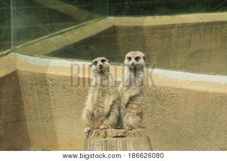 two cute meerkats (Suricata suricata) in their enclosure in ZOO