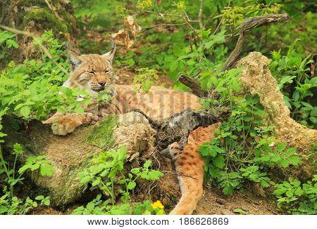 fluffy Eurasian lynx having rest in the bushes