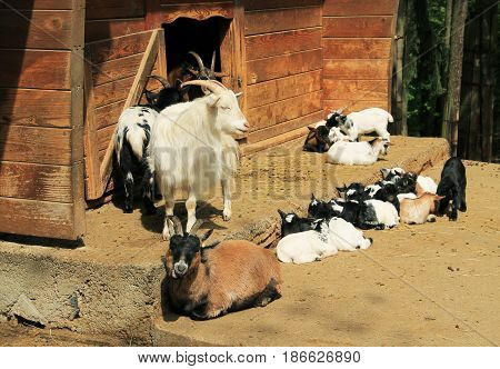 group of domestic goats with their cute little youngsters
