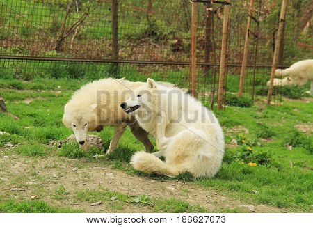 two white arctic wolves (Canis lupus arctos ) - alpha male scratching itself and submissive one next to it
