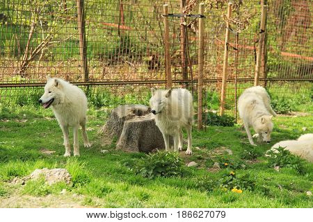 pack of white arctic wolves (Canis lupus arctos) in the enclosure in ZOO