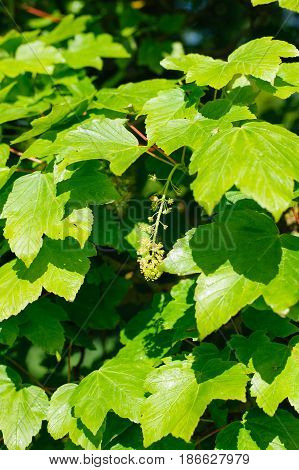 Acer pseudoplatanus sycamore maple foliage on sunny day