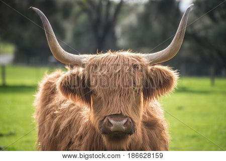The highland cow in the farm of Churchill island at Phillip island, Victoria state of Australia.
