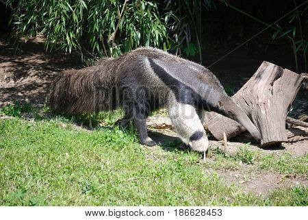 Anteater with a long nose and long tail strutting his suff.