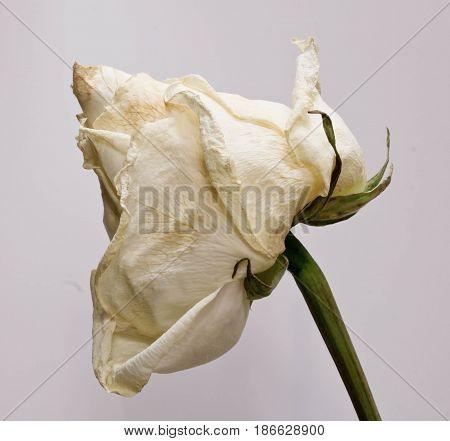 sluggish white rose close up. abstract photo