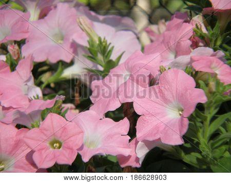 Flowering pale pink petunia flowers in a garden.