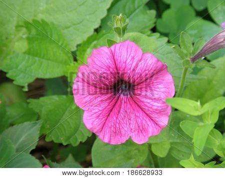 Pink flowering petunia plant in a garden.