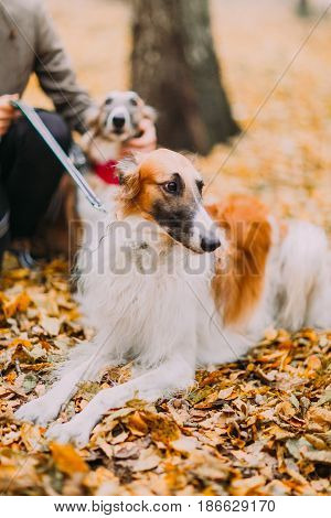 Pure-bred collies in the autumn forest close up.