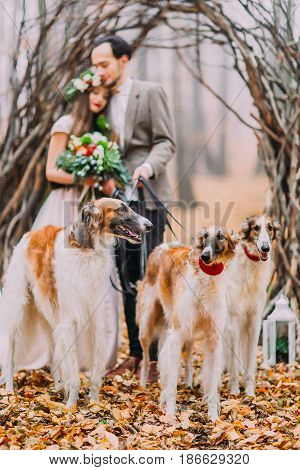 Wedding couple walking two pure-bred collies in the autumn forest.