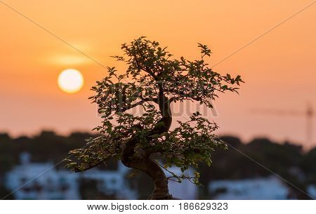 Typical bonsai tree under the sunset that conveys harmony and peace