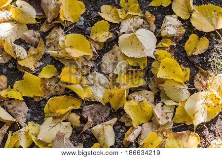 Yellow leaves. Fallen leaves. Autumn leaves. Leaves closeup
