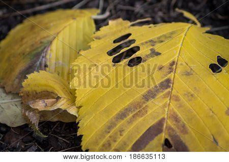 Fallen autumn leaves close-up. Yellow leaf. Macro