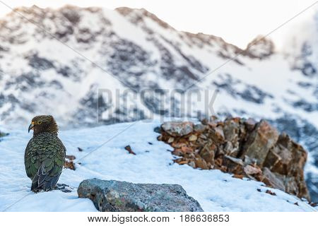 New Zealand Kea bird in snow mountains. It is the only alpine parrot in the word. Travel nature lifestyle. Wildlife in Mount Cook National Park.