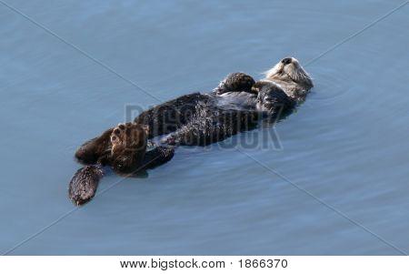 Sleeping Sea Otter