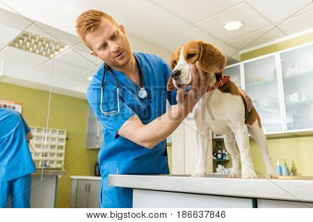 Veterinary Examing Cute Beagle Dog At Clinic