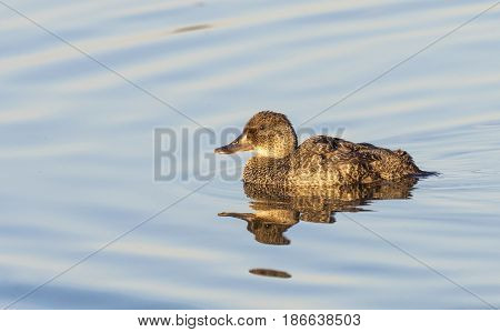 The blue-billed duck (Oxyura australis) is a small Australian stiff-tailed duck endemic to Australia's temperate regions inhabiting natural and artificial inland wetlands.