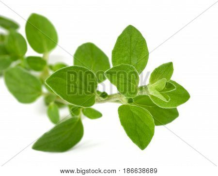 oregano sprig isolated on a white background