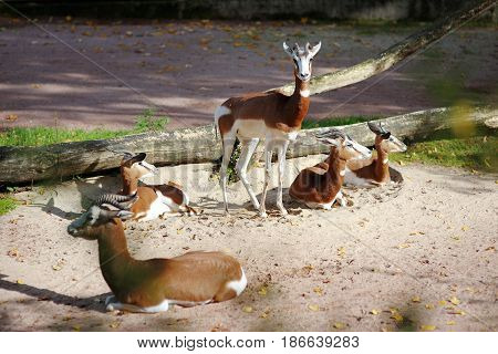 Beautiful five gazelles with the horns relaxing
