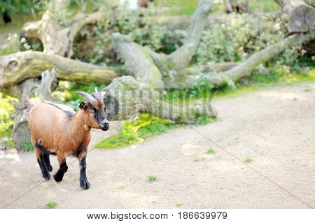 Little brown beautiful goat with little horns
