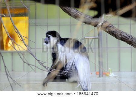 Colobus black and white monkey in Frankfurt zoo
