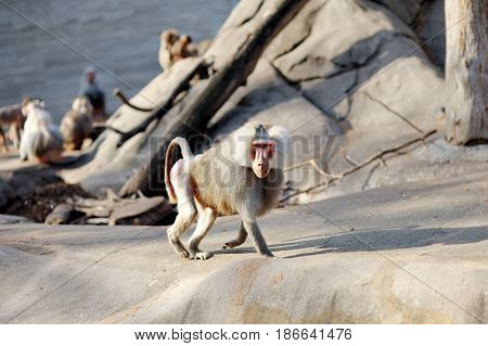 Hamadryas baboon monkey wild animal heropithecus gelada